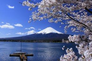 Cảnh hoa anh đào nổi tiếng trên nền núi Phú Sĩ