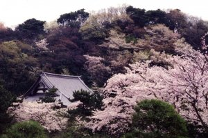 Sakura and tiled roof