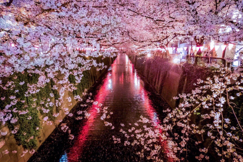 Cherry Festival 2020.Meguro River Cherry Blossoms 2020 March April Events In