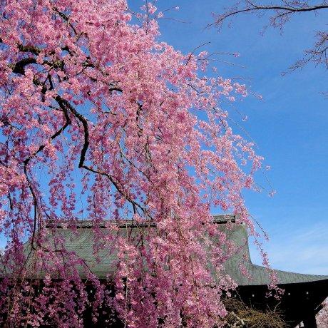 京都 天龍寺の春