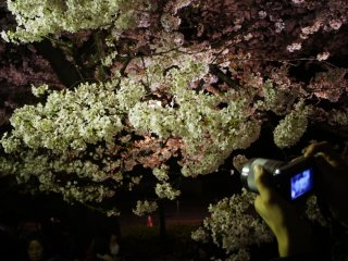 Cameras in action to catch the blossoms is a week long affair. It is this fleeting nature of the blossoms which gives it the importance.