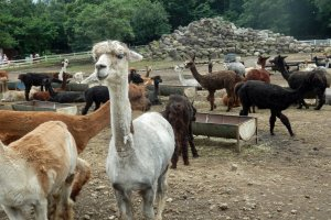 Various kinds of alpacas can be observed