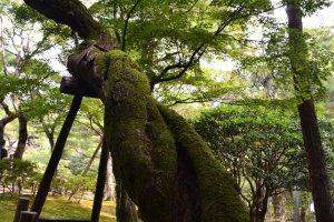 ต้นไม้เก่าแก่ที่โน้มเอียงและมีมอสเกาะตามลำตัวต้น