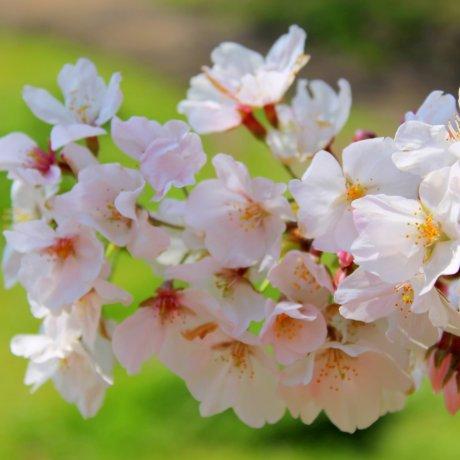 Cerisiers En Fleurs À Numazu