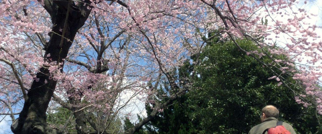 Tsutsujigaoka Park with cherry blossoms.