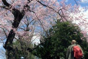Parque Tsutsujigaoka com flores de cerejeira