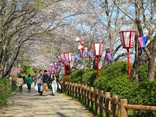 ภาพทางเดินที่สวยงามและโคมไฟสำหรับฉลองเทศกาลซากุระบาน