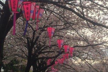 Sakura on the Ookagawa River