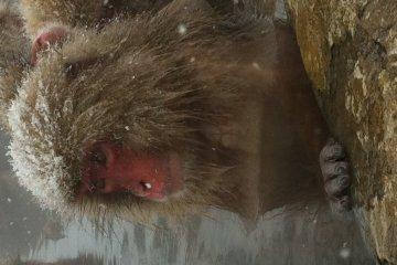 Snow monkey enjoying onsen