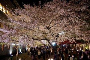 夜桜を楽しむ人々