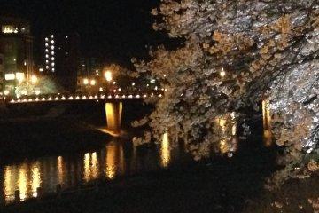 足羽川のお花見: 夜編