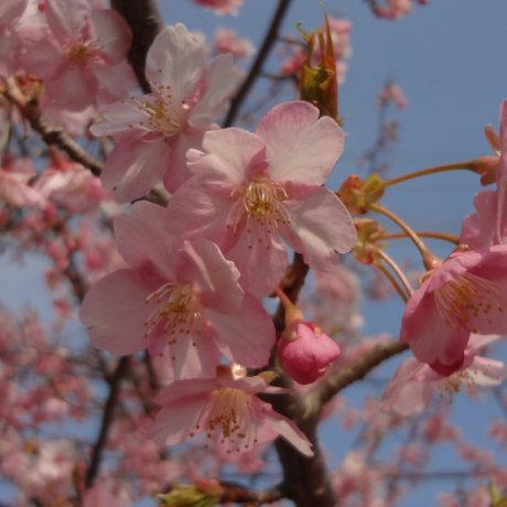 Early Cherry Blossoms in Kanagawa