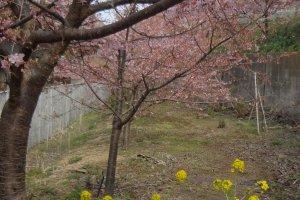 Además de los cerezos, árboles de colza comienzan a florecer casi al mismo tiempo.