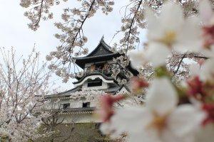 ซากุระทำให้ปราสาทแห่งนี้มีชีวิตชีวาและสวยงามในฤดูใบไม้ผลิ