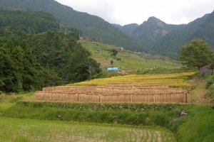 Rice stalks drying over tent like poles below the Senmaida rice paddies