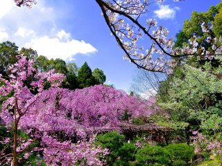 There were various kinds of cherry trees blooming in the inner garden