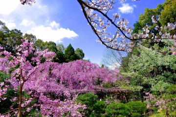 <p>There were various kinds of cherry trees blooming in the inner garden</p>