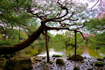 <p>Pine tree stretching out its branches over the pond</p>