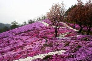 ต้นซากุระท่ามกลางทุ่ง Pink Moss