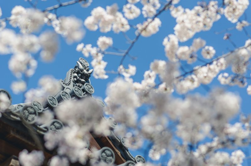 <p>The beauty of Zojoji&#39;s architecture mixed with the beauty of blossoms makes for a grand contrast.</p>
