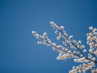 There is nothing quite as lovely as enjoying the beauty of the sakura against the backdrop of a blue sky.