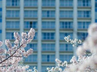 芝公園には近代的ビルがたくさんあり、桜の自然美との対照が楽しめる