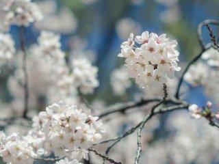 近くで見ても遠くから眺めても、桜の美に比類はない