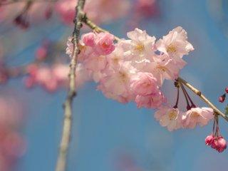 桜の中で最も有名なのはソメイヨシノだが、桜の品種は様々あり、芝公園でも別種の桜が見られる
