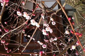Weeping plum in flower