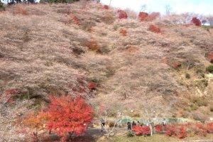 Senmi Shikizakura no Sato ภูเขาซากุระและใบไม้แดง