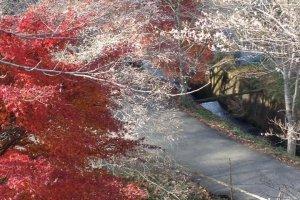 ระหว่างทางเดินสู่ภูเขาซากุระและใบไม้แดง