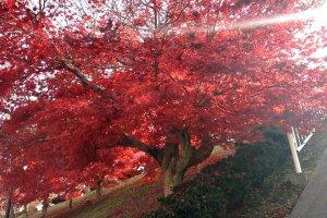 ใบไม้แดงตัดกับแสงแดดอ่อนๆในฤดูใบไม้ร่วง