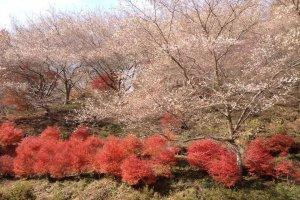 พุ่มใบไม้แดงเล็กๆภายใต้ต้นซากุระ น่ารักไหมคะ?