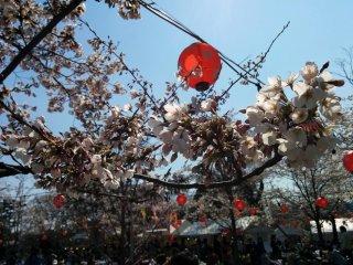 벚나무의 클로즈업. 밤에 등불이 밝아질 것이다