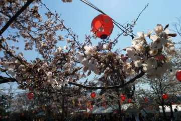 <p>A close-up of some cherry trees. The lanterns will light up at night.&nbsp;</p>