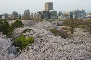 A sea of sakura as viewed from the park's highest level