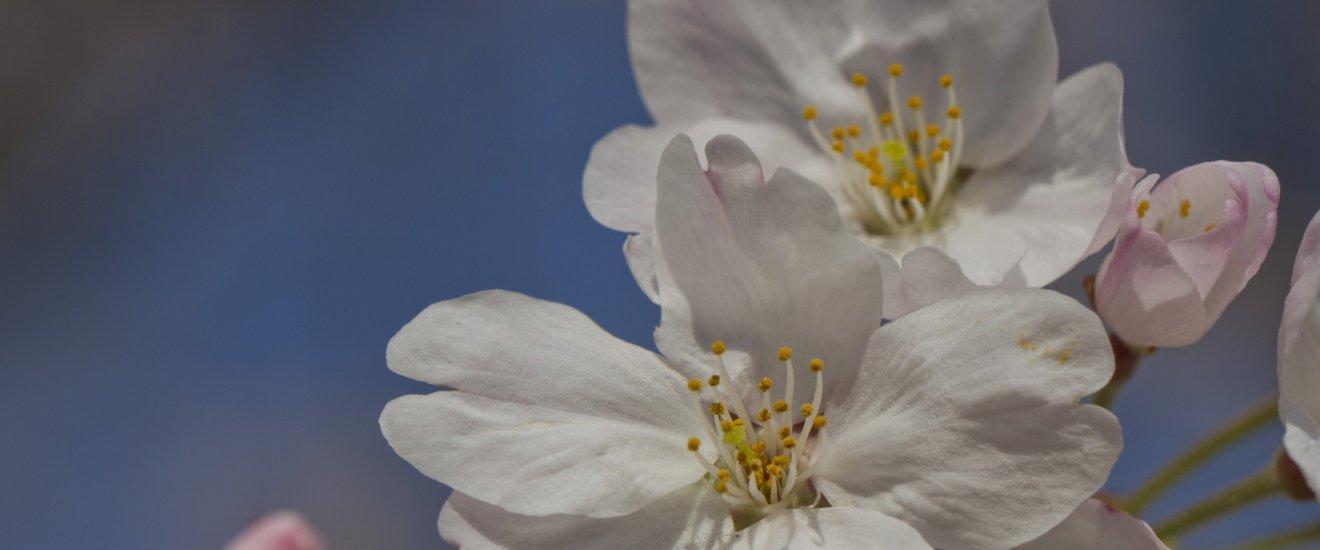 Sakura alcanzando al sol