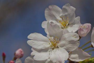 أزهار الكرز في أطلال قصر فوكووكا