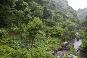 The valley's full of hydrangeas