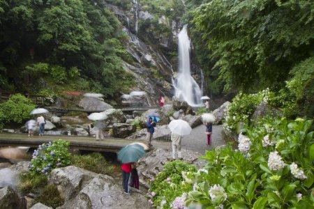 Hoa cẩm tú cầu trên thác Mikaeri