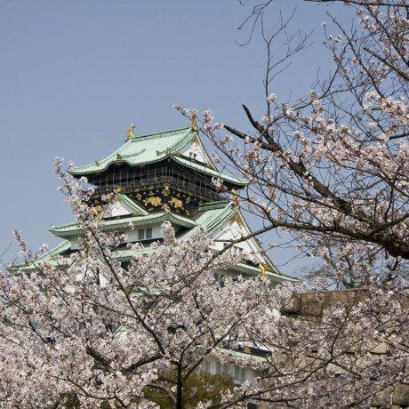 Hoa anh đào ở thành cổ Osaka
