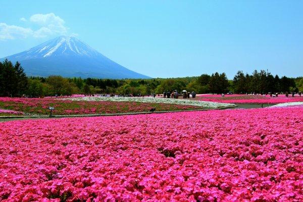 ทุ่งชิบะซากุระพร้อมแบ๊คกราวด์เก๋ๆแบบภูเขาฟูจิ