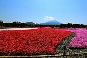 ชิบะซากุระหลากหลายพันธ์ุ มีทั้งสีแดง สีชมพูและสีขาว