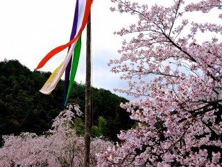 벚꽃과 다섯가지 색깔의 줄무늬