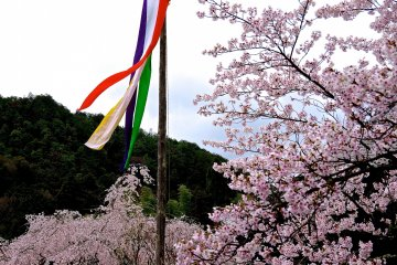 <p>Cherry blossoms and five colors streamer</p>