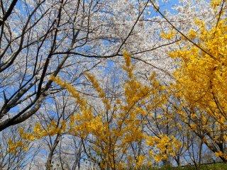 푸른 하늘, 하얀 벚꽃, 노란 개나리가 멋진 조합을 이룬다