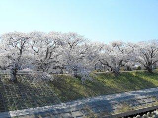 따스한 햇살 아래 햇볕을 쬐며 행복해 보이는 벚나무