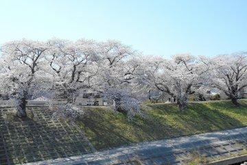 <p>Cherry trees looking happy basking under the warm sunshine</p>