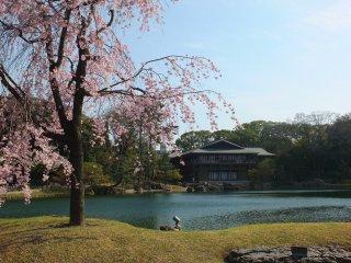 บรรยากาศเมื่อก้าวเท้าเข้ามาในสวน มีซากุระและทะเลสาบต้อนรับอย่างอบอุ่น