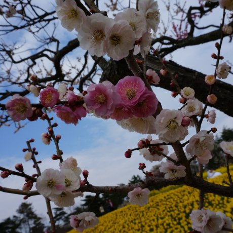 Công viên bên bờ biển Hitachi: Vườn hoa thủy tiên